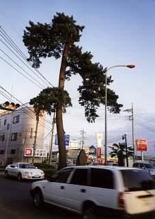 20020330見返りの松.JPG