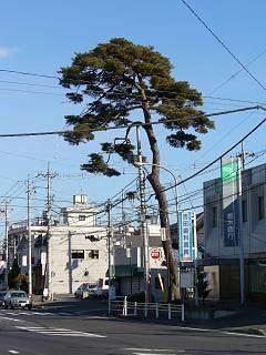 20060108奥州街道松.JPG