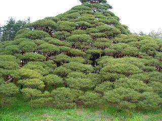 20060426鶴舞松.JPG