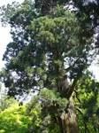 20070523姥杉s-.jpg