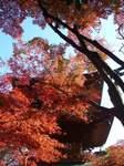 20081129豪徳寺紅葉s-.jpg