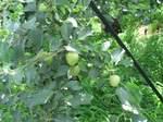 20110705リンゴ-.jpg